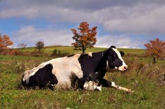 Autumn Cow!