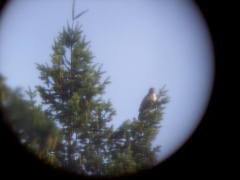 Picture of hawk Through Binoculars