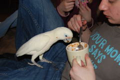 OUR BIRD CREAMSCICLE LIKES CHILI!