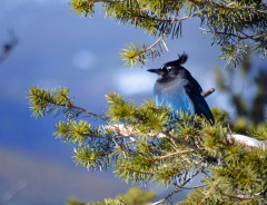 Wind Blown Stellar Jay