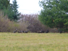 Wild Turkey Trot