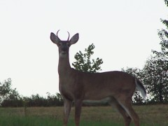 My 4-point Buck