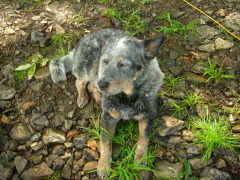Missing Australian Cattle Dog