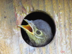 Baby Bluebird getting ready to fledge