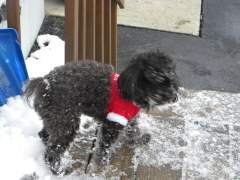 Our Toy Poodle enjoying the snow