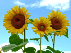 Bright Sunflowers Reach For Sunny Skies
