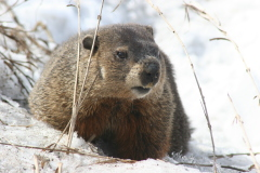 Woodchuck Checks the Weather