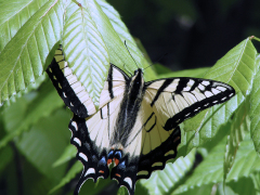 Fluted Swallowtail Butterfly