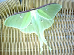 Rare Picture of a Luna Moth