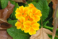Primroses Bloom in December