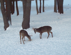 Stand-Off In the Snow