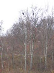 Two Bears In The Treetops Along Rt 81
