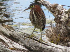 The Green Heron
