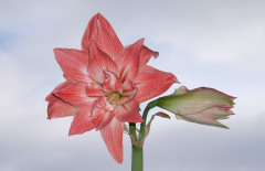 Amaryllis Touches Sky