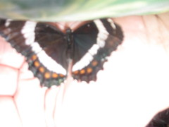 White Admiral comes to visit