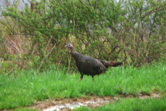 Hen Turkey 5/4/11