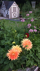 My dad planted Big Dahlias