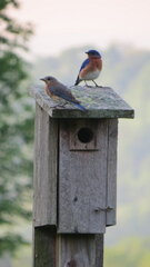 Bluebirds in the yard
