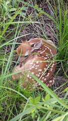 Day old Fawn hidden by his Momma