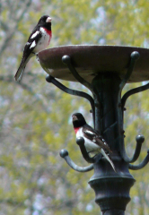 Pair of Rose Breasted Grosbeaks