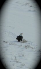 Bald Eagle sighted in Columbus NY