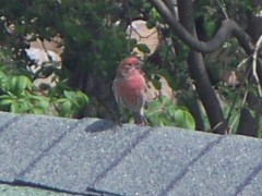 Red bird on roof.