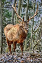 Winter Elk at Benezette, PA!
