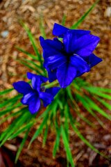 Little Blue Iris