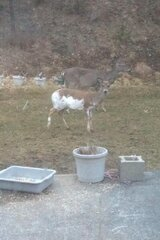 Piebald Deer Spotted in Binghamton