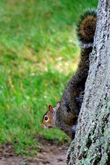 Wary Squirrel