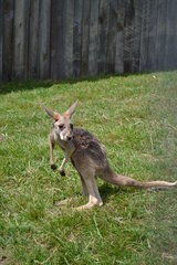 Baby Kangaroo at Animal Adventure