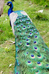Pretty as a peacock!