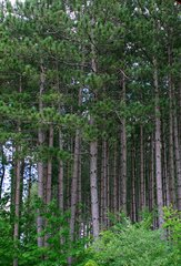 Stately Stand of Pines