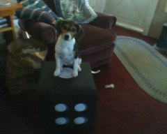 our dog mitzy sitting on her toy box