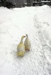 Peking Ducks out for a walk