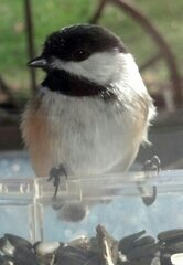 Chickadee's having breakfast