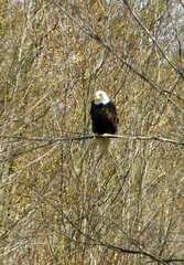 Bald Eagle Windsor NY