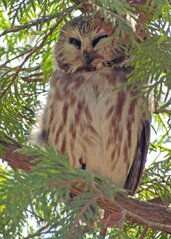 Snoozing Saw-whet Owl