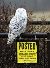 Snowy Owl is in town.