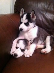 Have you seen our Serberian Husky puppy?