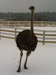 Ostriches Can't Fly South!
