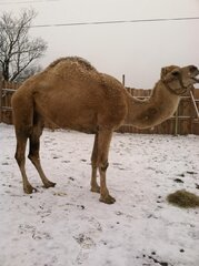 Maxx the Camel at home in the snow!