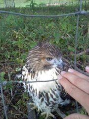 This Hawk let me get really close!!