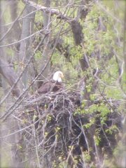 Momma Eagle Watching Over the Babies