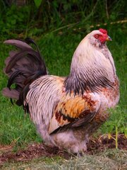 Chilly Weather Equals Grumpy Rooster