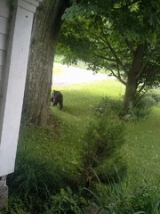 Bear in Wellsbridge, NY