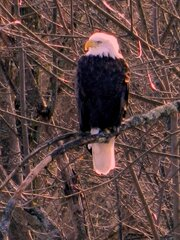 Eagle near Wellsbridge