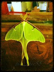 Luna Moth in the Morning