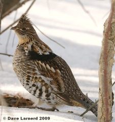 Ruffed grouse waiting for spring.