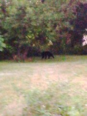 Black bear wandering the neighborhood.